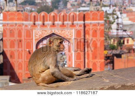 Rhesus Macaque Sitting On A Wall  Near Suraj Pol In Jaipur, Rajasthan, India