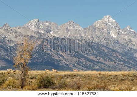 Pronghorn Antelope in the Tetons