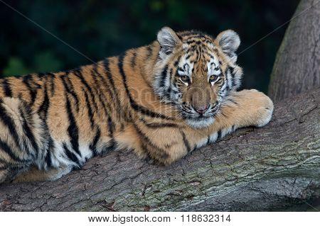 Siberian Tiger Cub (Panthera Tigris Altaica