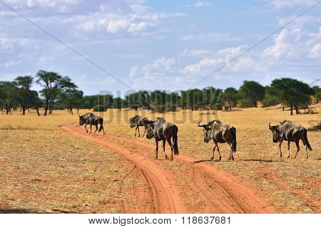 Blue Wildebeest Antelopes, Namibia