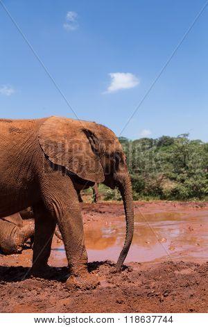 A young elephant at a mudhole ready to take a bath. Nairobi Kenya.