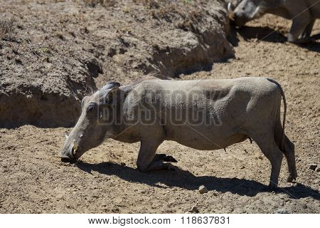 African Warthog Kneeling Down To Eat