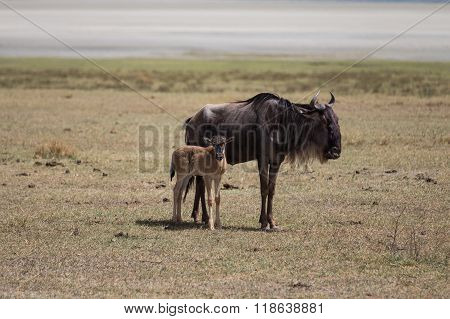 A Wildebeest Mother With Its Kid
