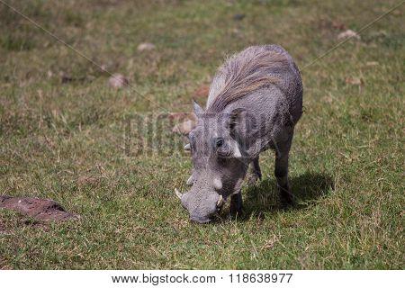 Pumba Grazing