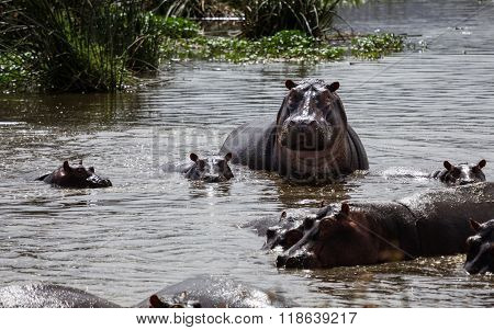 A Hippo Mother And Its Baby Looking Up