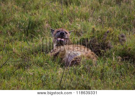 A Spotted Hyena Laying In The Grass