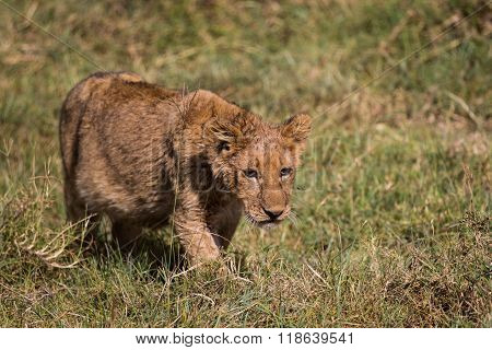 A Lion Kitten Hunting