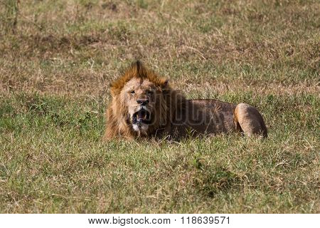 A Male Lion Relaxing