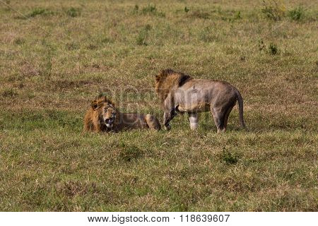 Two Male Lions Getting Ready To Fight