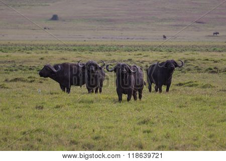 A Group Of Buffalo Watching Out