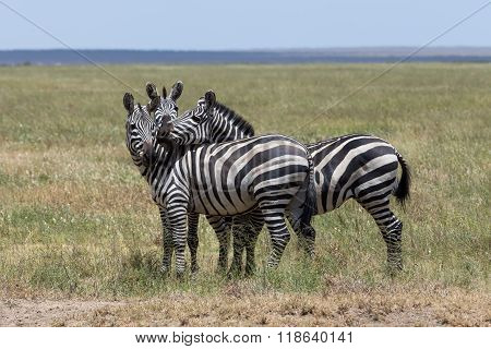 Three Zebras Enjoying Themselves