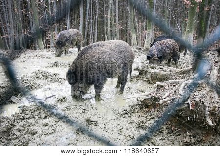 Wild Hogs Searching For Food