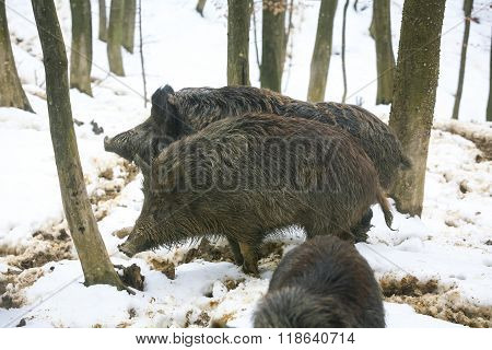 Three Wild Hogs In Woods