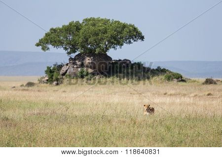 A Lioness Hidden In Grass, On The Hunt