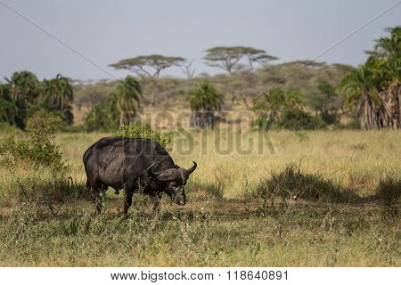 A Buffalo Looking For Food