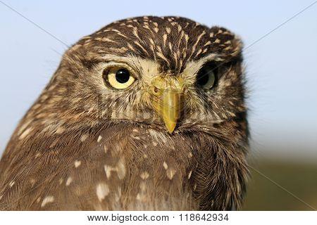 A portrait of the ferruginous pygmy owl
