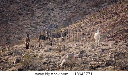 Wild  Burros On A Hillside In The Mojave Desert