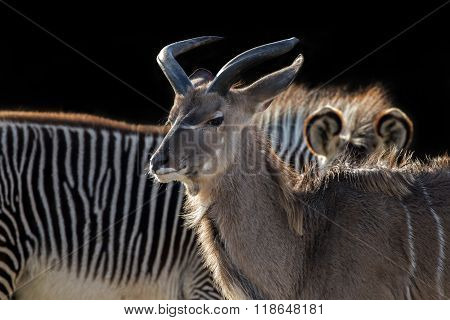 Kudu with a zebra in the background
