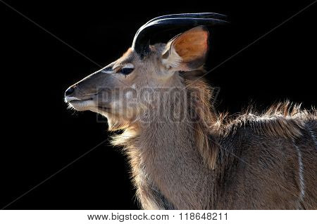 Portrait of a Kudu with a black background