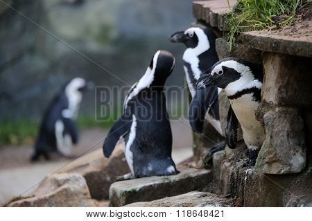 Two south African Pinguins with a rocky background