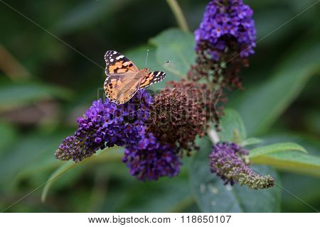 Butterfly on purple flower with green background