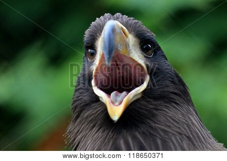 Young Steller's Sea Eagle