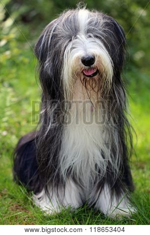 A Bearded Collie with a green background