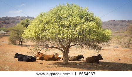 Botswana Beef Cattle