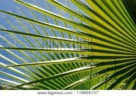 Chinese Fan Palm: Tropical Abstract