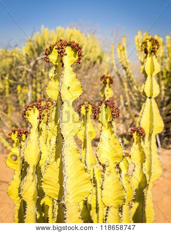 Desert Cactus Candelabra Tree