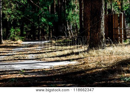 Coniferous Forest In The Sun