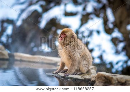 Japanese Snow Monkey at Jigokudani snow monkey park, Nagano, Japan.