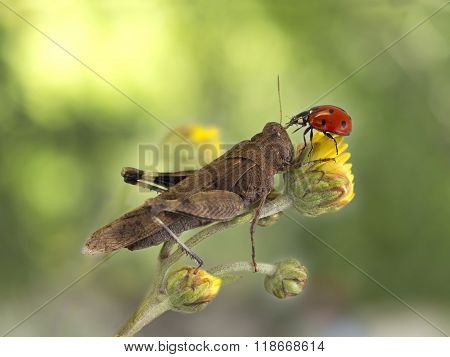 Grasshopper And Ladybug Together On A Yellow Flower On Dark Green Background