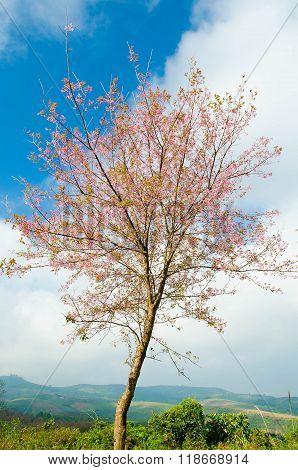 Wild Himalayan Cherry Or Himalayan Sakura