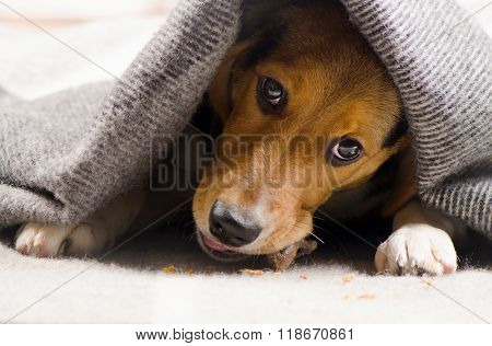 Beagle Puppy Peeking Out From Under Warm Blanket.