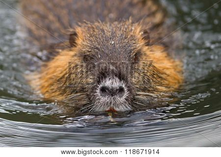 Myocastor Coypus, Single Mammal