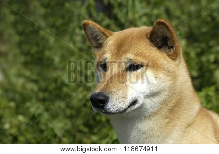 Canaan Dog In A Meadow