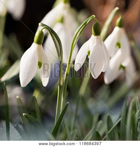 Snowdrops On Sunny Day