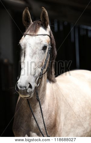 Beautiful Grey Horse Standing In Front Of The Stable