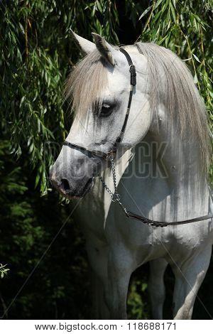 Amazing White Shagya Arab In Nature
