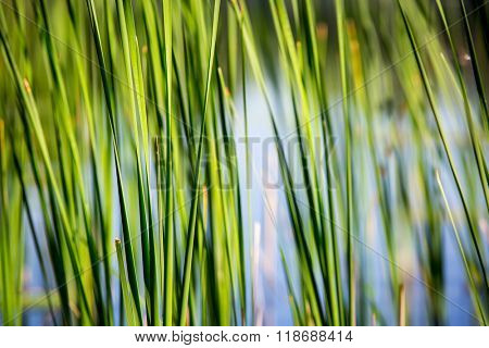 green reed on river - abstract background