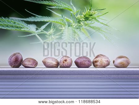 Hemp Leaves And Seeds