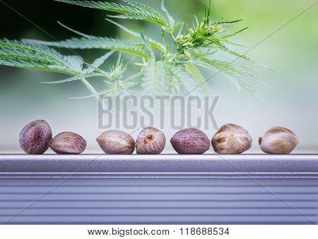 Hemp Leaves And Seeds