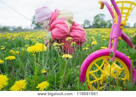 Magenta Color Kids Tricycle With Yellow Wheels And Little Toddler Girl Collecting Dandelion Flowers