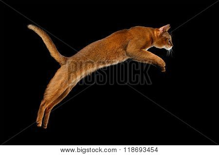 Closeup Jumping Abyssinian Cat Isolated On Black Background In Profile