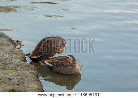 Two Ducks stand on riverbank. finding food