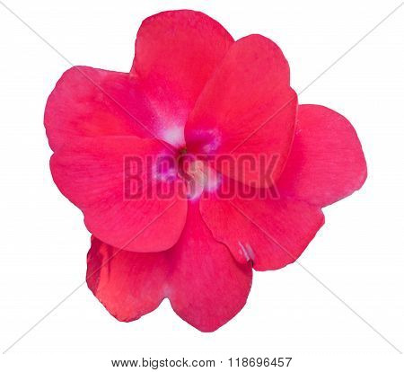 Impatiens Walleriana Red Flower.