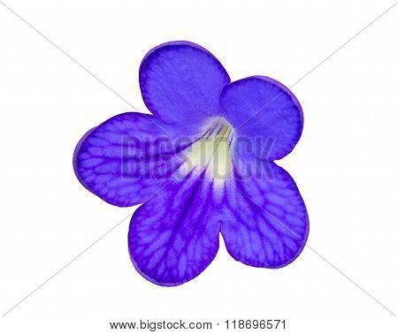 Streptocarpus Blue Flower.