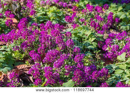 Purple Flowers Of Lobularia Maritima.