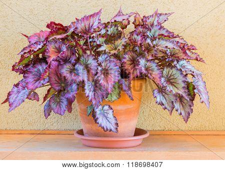 Ponpy Leaf (begonia Plants) In Vase For Decoration Home.